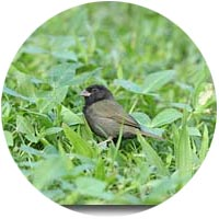 st lucia black finch
