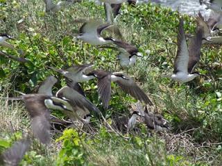birds_maria_islands_ st_lucia