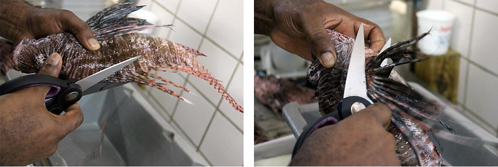 how to prepare lionfish cut off spikes