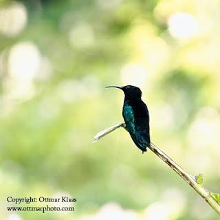 hummingbird-saint-lucia
