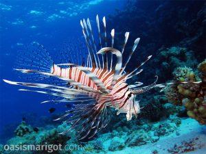 invasive lionfish saint lucia