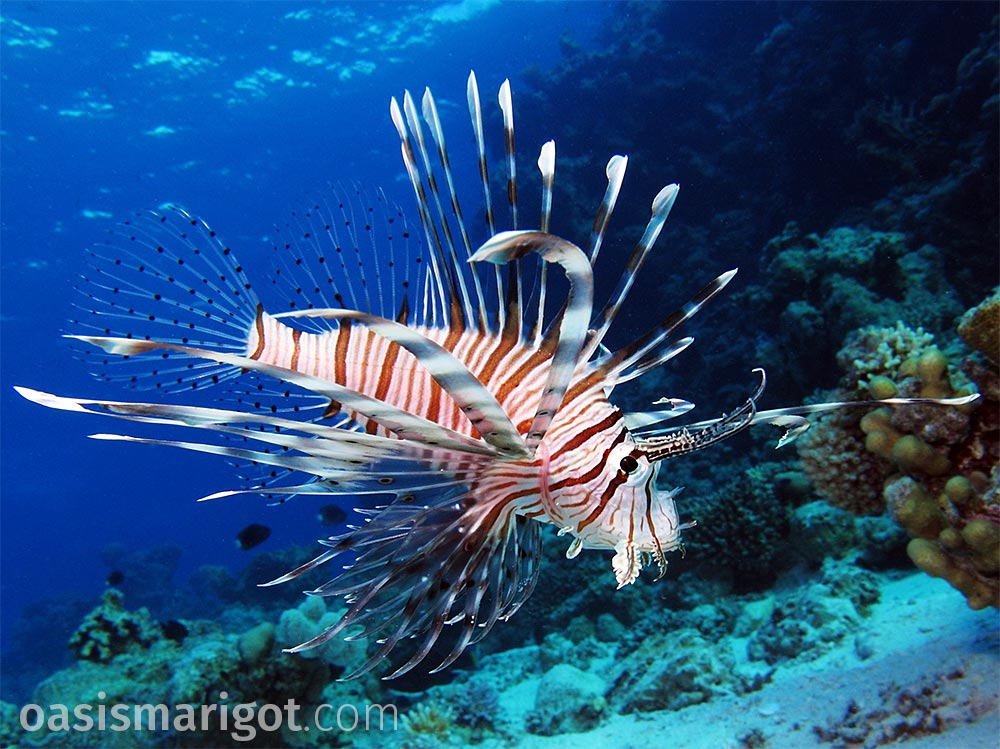 invasive lionfish saint lucia