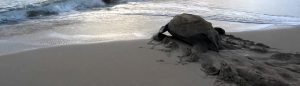 leatherback turtle watching st lucia