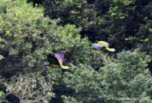 st-lucia-parrots-sighting