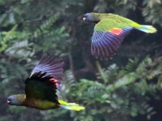 st lucia parrots