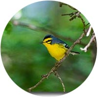 st lucia warblers